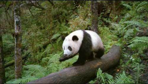دانلود فیلم Pandas The Journey Home